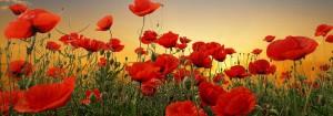 Poppies 1000